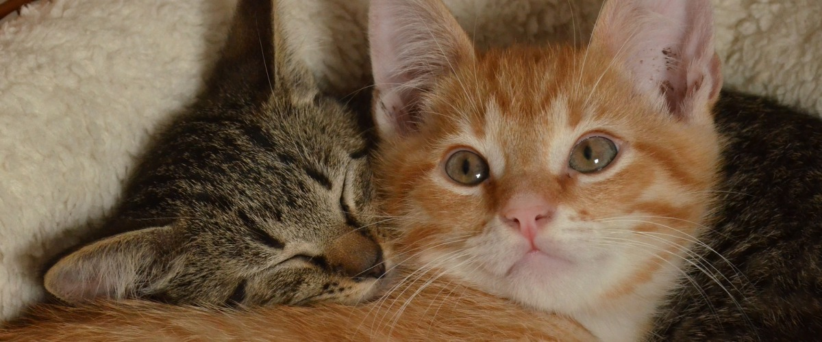 North County Dublin SPCA Caring for Your Kitten