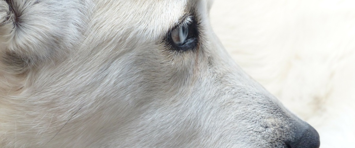 Dog North County Dublin SPCA